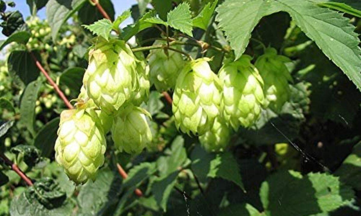 Hop shoots Vegetable Buy online   Hop shoots seeds on Amazon, Flipkart
